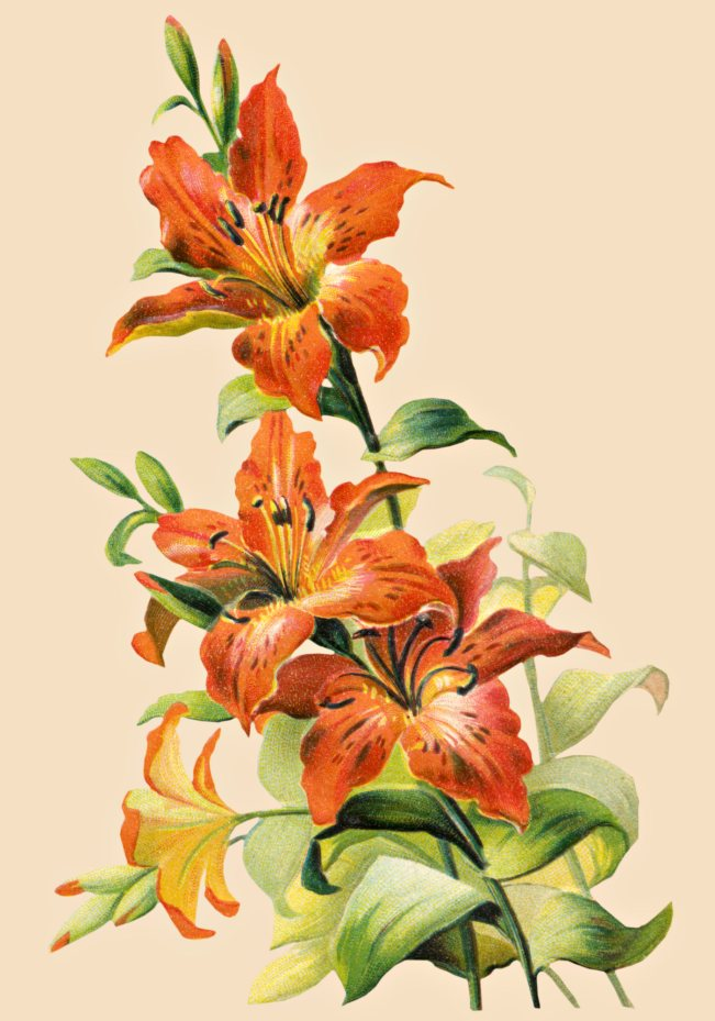 Free Vintage Tiger Lily Flower 2