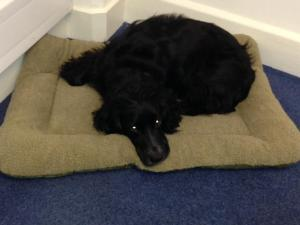 A black working cocker spaniel on his bed