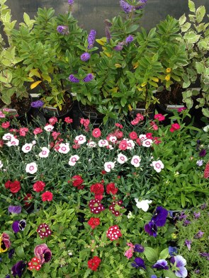 clonakilty-garden-petunia-carnations