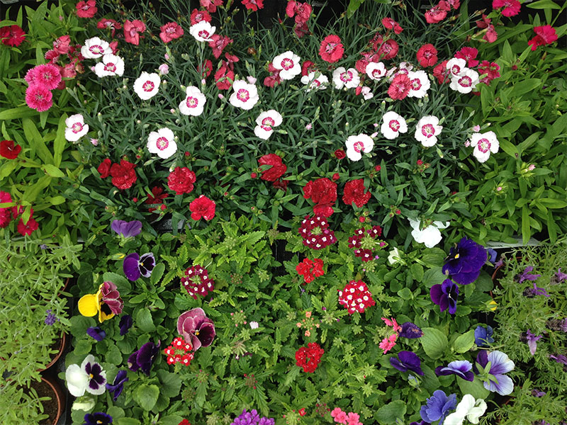 clonakilty-garden-petunia-sweet-williams