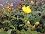 perennial flower westcork ireland2