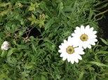 perennial flower westcork ireland8