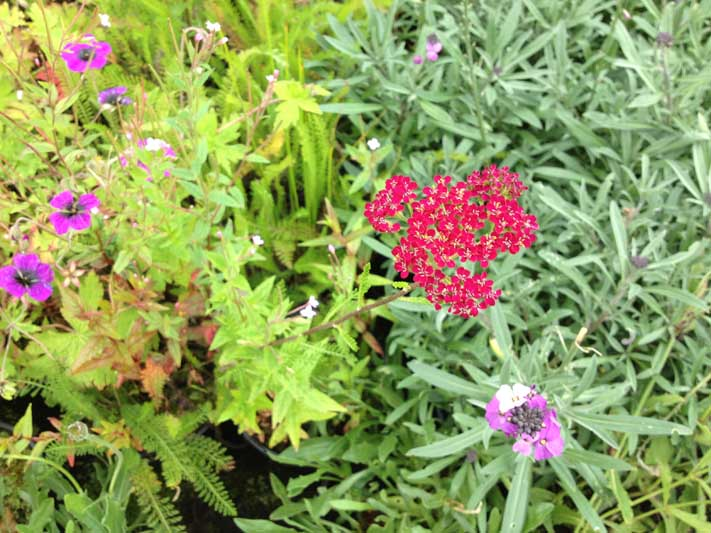 perennial flower westcork ireland9