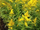 solidago golden rod