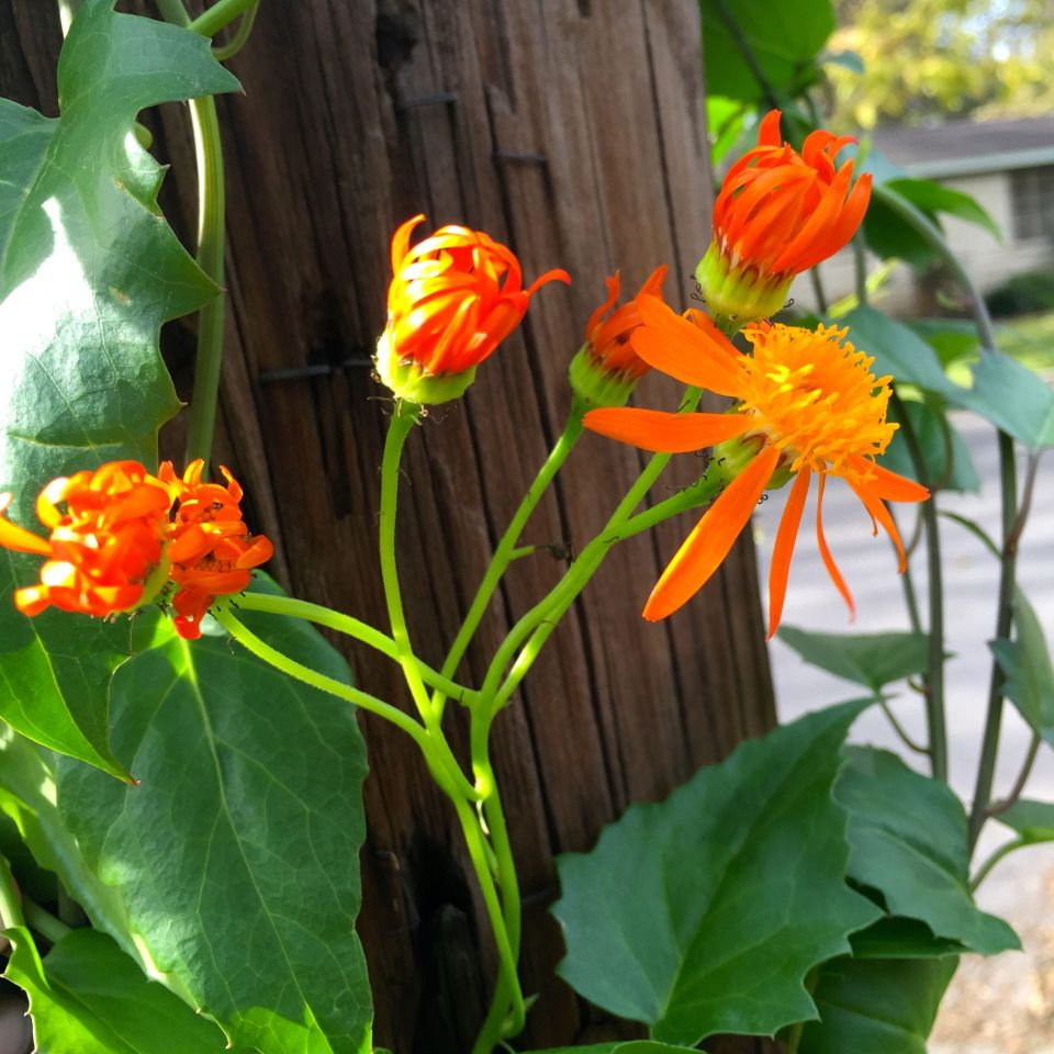 Fullsize Of Mexican Flame Vine