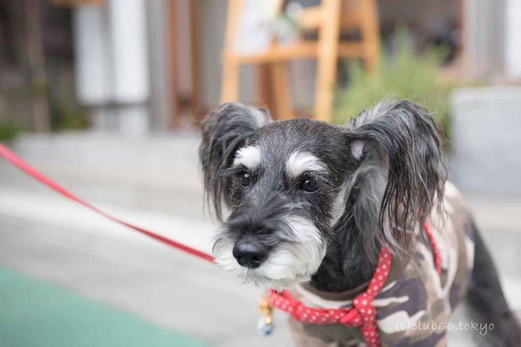 犬 シュナウザー