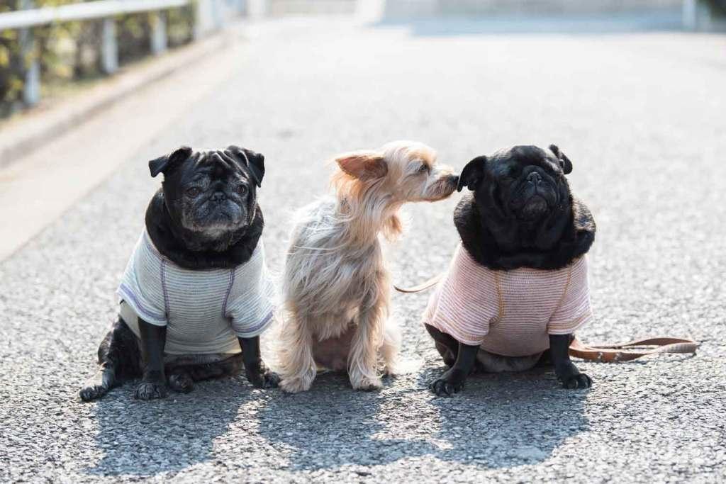 パグ ヨークシャーテリア 小型犬