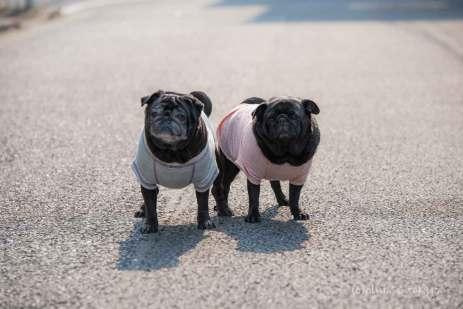 パグ ヨークシャーテリア 犬 いとこ 姉妹