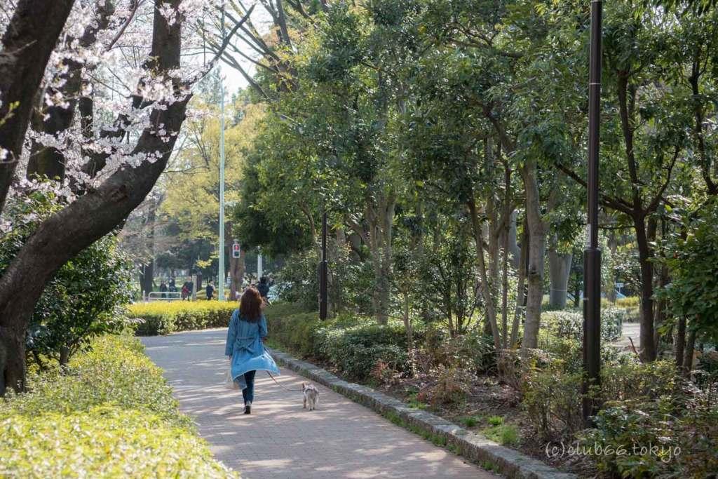 光が丘公園 桜 散歩
