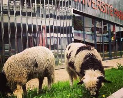mouton clinamen_fac villetaneuse 6
