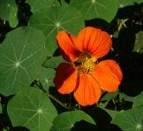 Blomkarse spiselig blomster