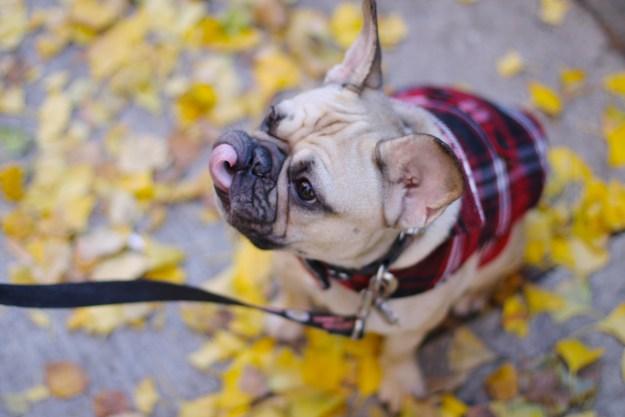 frenchbulldog frenchie french bull dog waffles the french french bull dog waffles the french bulldog color me courtney french bulldog
