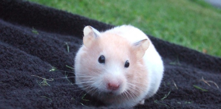Factors to Consider When Buying a Hamster Cage