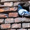 Pigeon at Castelvecchio Verona