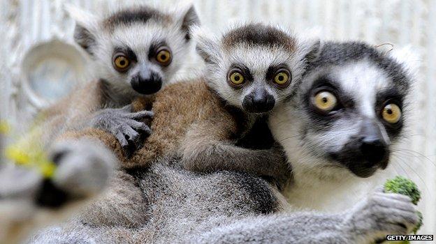 _61018683_madagascar_lemurs_g