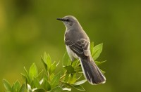 The northern mockingbird. This is the nearest analog to the mockingjay, symbol of freedom in the Hunger Games universe.