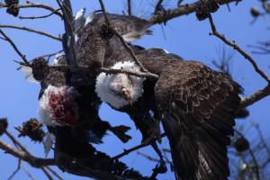 Two bald eagles interlocked, injured and hanging from a tree in Tuckerton, NJ. Photo by Ben Wurst.