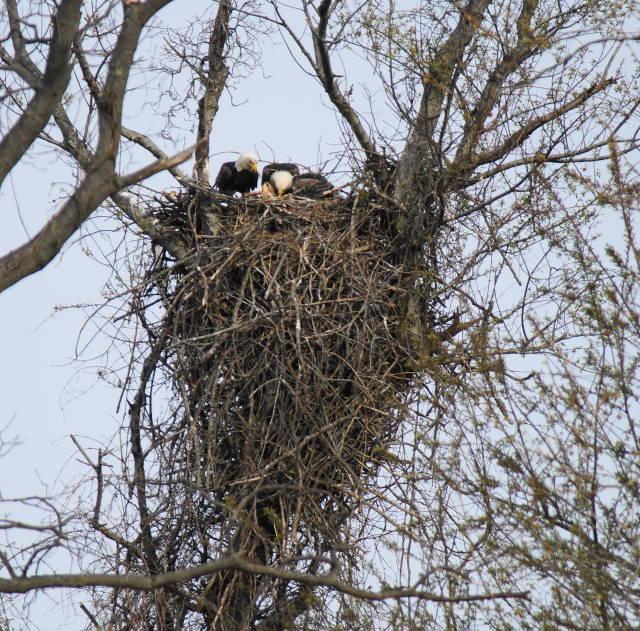 Pilesgrove nest 4/19/2015@J. White