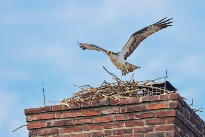 As the osprey population grows, work to identify, protect and remedy problem nests is crucial to their long term survival. Photo by Kevin Knutsen