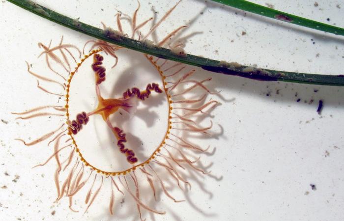 Clinging Jellyfish photo by Dann Blackwood, U.S. Geologoical Survey, Woods Hole