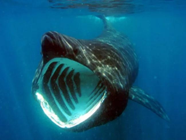 A basking shark feeding. Photo courtesy of Flickr user jidanchaomian.