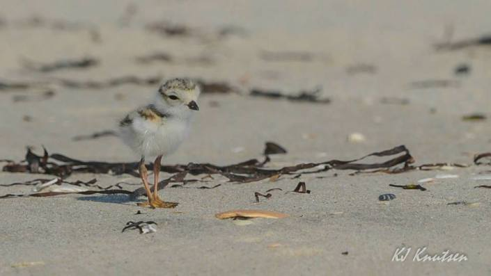 """One of four recently hatched """"itty-bitty"""" piping plover chicks at Island Beach State Park. Photo courtesy of Kevin Knutsen."""