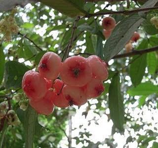 Chambakka Achaar Recipe / Pickled Water Rose Apple