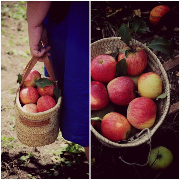 Bilpin apple picking