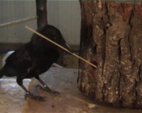 caledonian-crow-tool.jpg