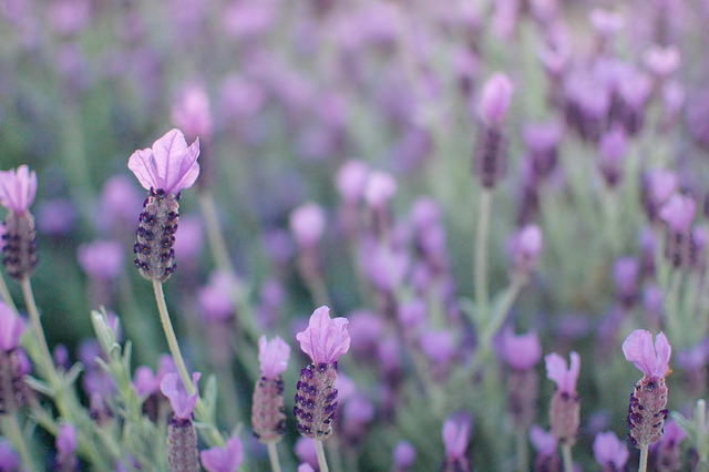 Lavenders, by jen on flickr (CCBY 2.0)