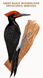 156 great black woodpecker dryocopus javensis