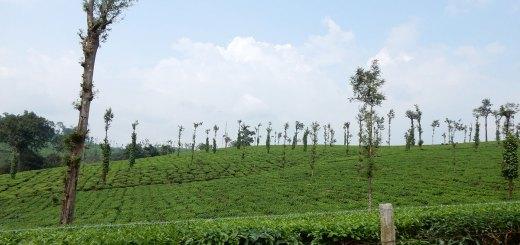 2---The-Glenlorna-Tea-Estate