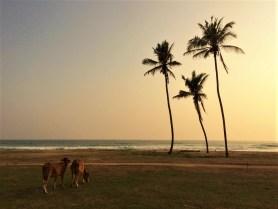 Coconut Plantation, Midigama