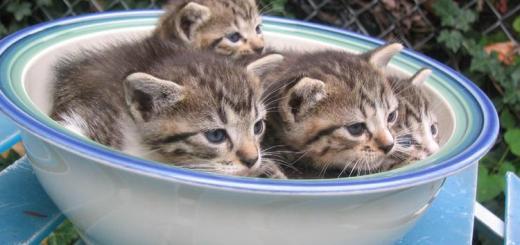 Estos gatitos se han enterado de que su plato de agua es lo más seguro y se han metido ellos   Foto: http://chance87.deviantart.com