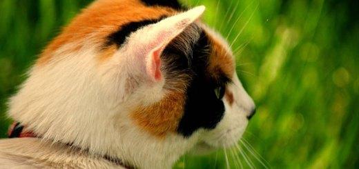 Las gatas tricolores son hembra, pero 1 de cada 3.000 puede ser macho | Foto: bellayona.deviantart.com
