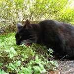 Los gatos que inhalan nepeta se tiran por el suelo, cazan ratones imaginarios y parecen drogados