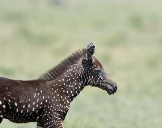 1548497_zebra