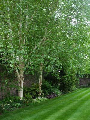 Shade planting beneath birch trees