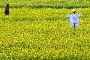 Lower Yields And Agropoisons: What Is The Point Of GM Mustard In India?
