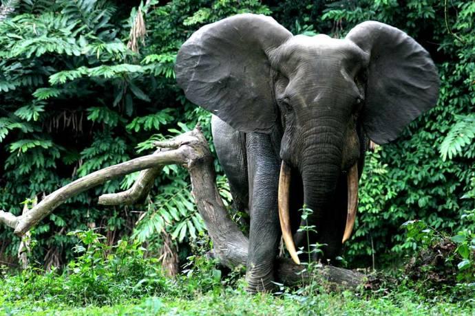 Forest Elephant along a river, Conkouati-Douli National Park, Republic of  Congo - Photo Credit Hilde Vanleeuwe (WCS)