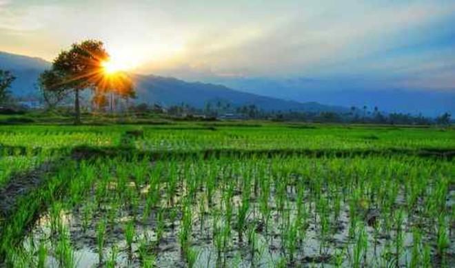 rice-intensification