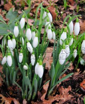 Подснежник, галантус. Цветок подснежник, цветы в саду. Весна