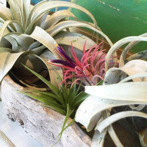 Air plants and greenery