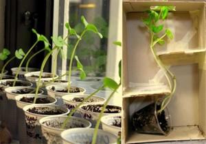 experiment cum cresc plantele catre lumina