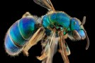 Macro Bee Portraits by Sam Droege and the USGS Bee Inventory and Monitoring Lab