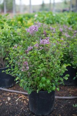 Small Of Dwarf Korean Lilac Tree