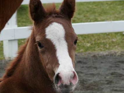 Chelsea Filly