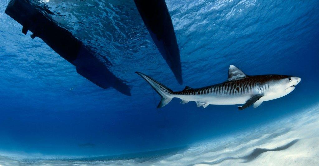 tiger-shark-coral-sea