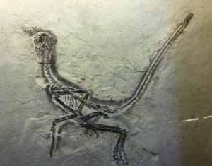 Feathered fossil dinosaur Liaoning China