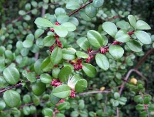 Myrsine africanum — African Boxwood